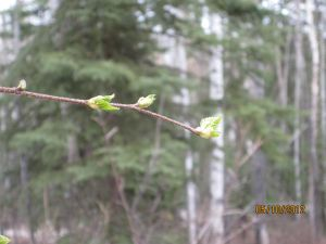 Tiny birch leaves