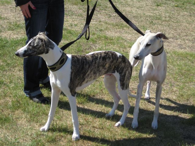 A pair of whippets outside the shhow building.