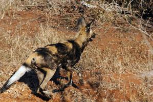 African Wild Dog