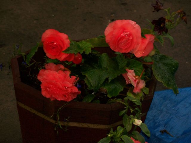 Begonias in tub