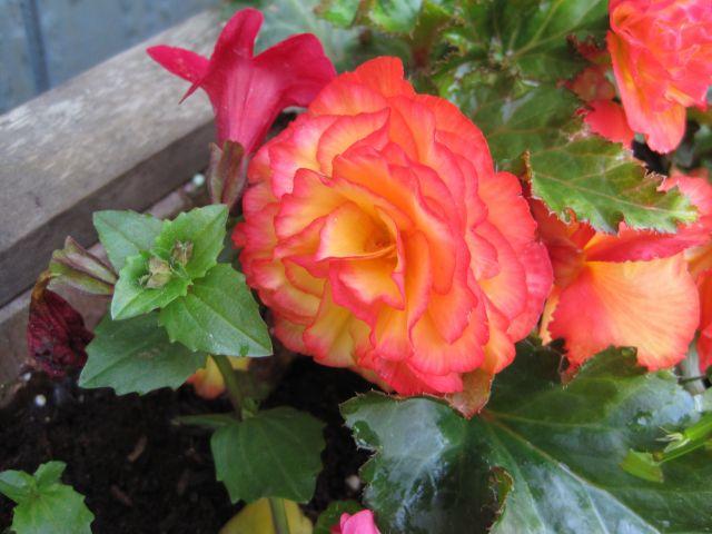 Bicolor begonia