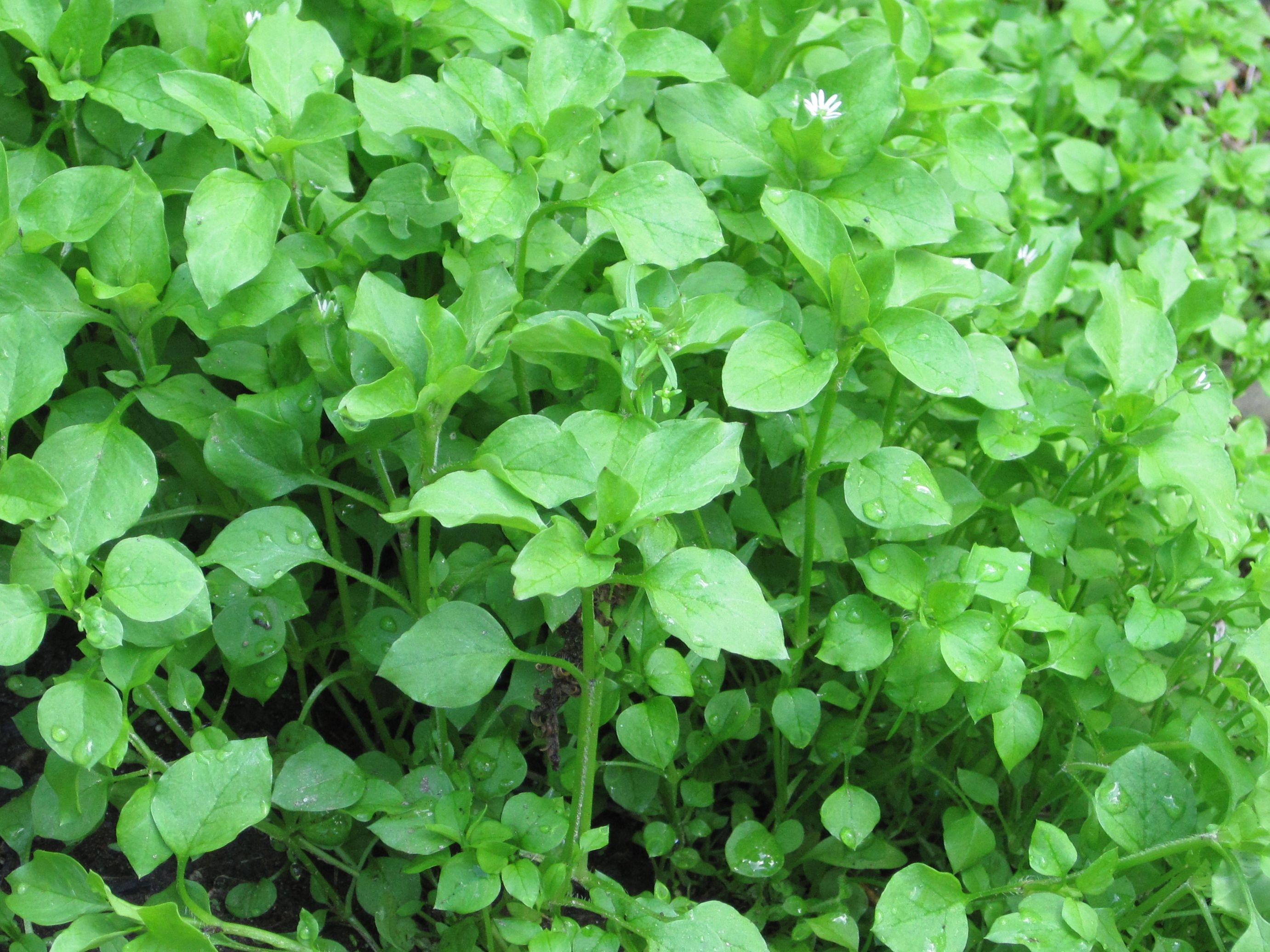 pics How to Eat Chickweed
