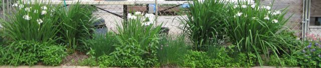 Iris, daylillies, chives, Alaska mint, chickweed, lynchis and lillies