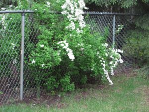 spirea in bloom
