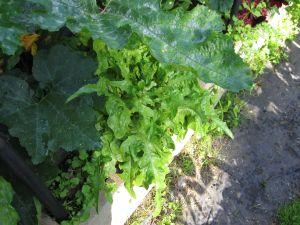 Lettuce under squash leaf