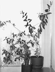 Kalanchoe and night-blooming jasmine