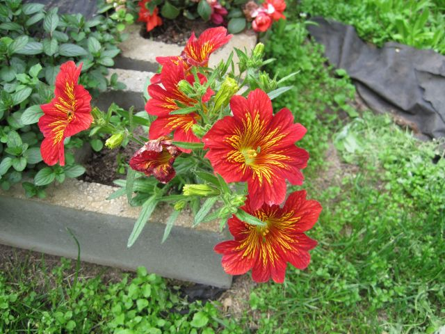 Red Salpiglossis