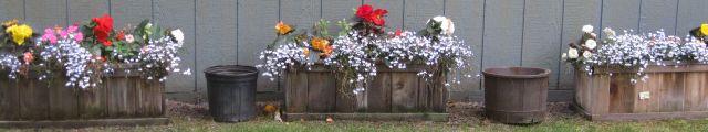 Begonia boxes, 8/17/12