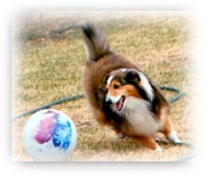 Shetland Sheepdog herding beach ball