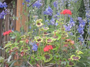 Colored-leaf geranium and delphinium