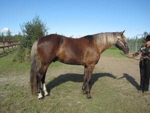 Silver Dapple horse