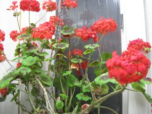 Colored-leaf geranium basket