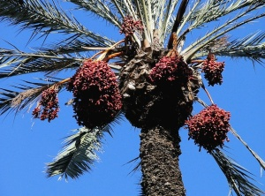 date palm, Morguefile