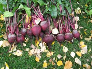 This year's red beet crop