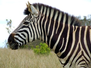 zebra head, Morguefile