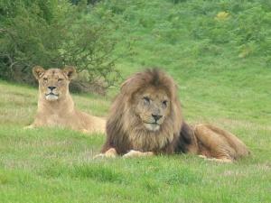 Lions, Morguefile