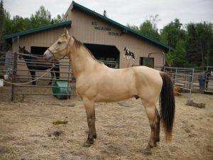 Champagne Tennessee Walker stallion, photo credit Valerie Rosadiuk