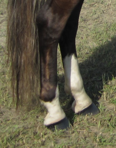 rear fetlock and sock