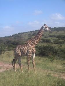 Giraffe--Morguefile
