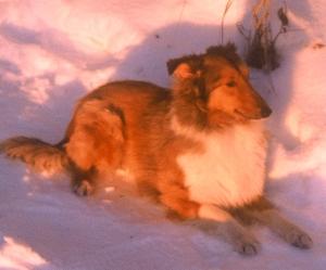 Shetland sheepdog in snow