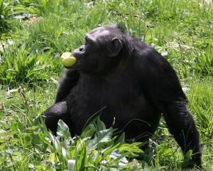 Chimpanzee, Morguefile