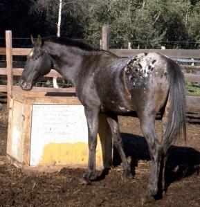 Appaloosaa horse