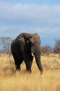 elephant, Morguefile
