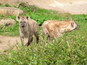 hyenas, Morguefile