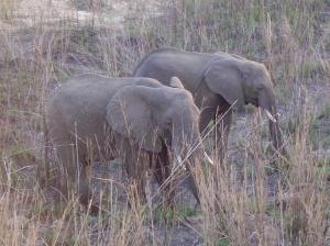 elephants, Morguefile