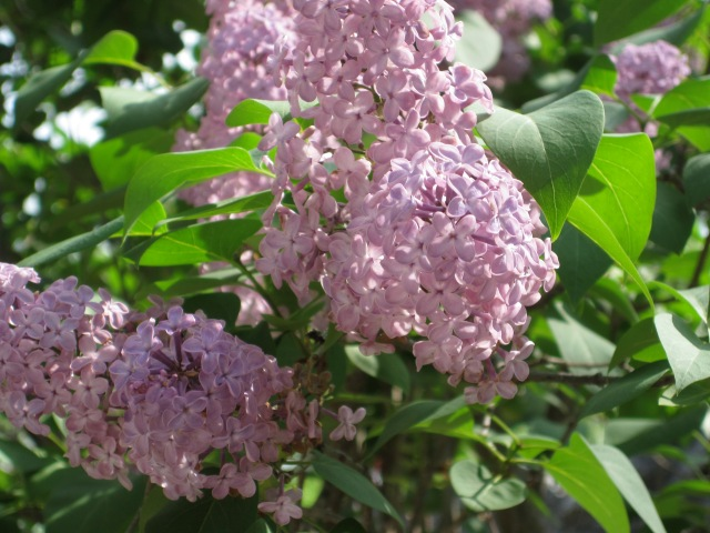 Lilacs toward the end of blooming, this morning in Ithaca