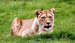 Lioness, Morguefile