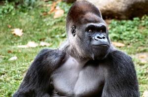 Gorilla, Morguefile