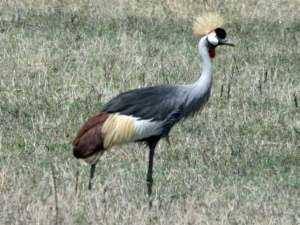 Photo Credit Dick Daniels, http://carolinabirds.org/HTML/AF_Gruiforme_Crane.htm#CraneBlue