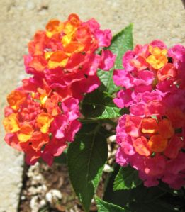 Lantana edging raised bed
