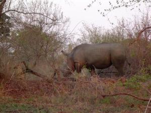 Rhinocerous, Morguefile