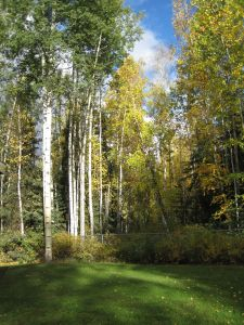 Alaskan Trees, 9/21/13