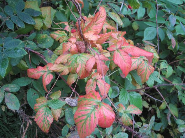 Only a few leaves are showing color on the raspberries.