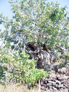 Pistachio tree (Photo source)