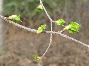 Birch leaves 5-4-14