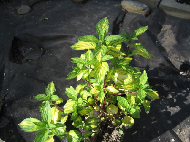 Variegated Ginger Mint (Mentha x gracilis.)
