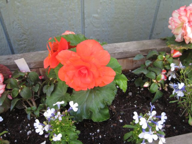 Shade lovers: Non-stop begonia, lobelia, and impatiens