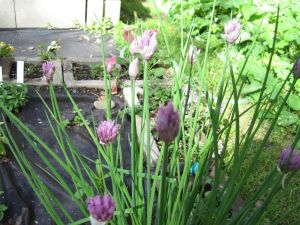 Chives 7-20-14