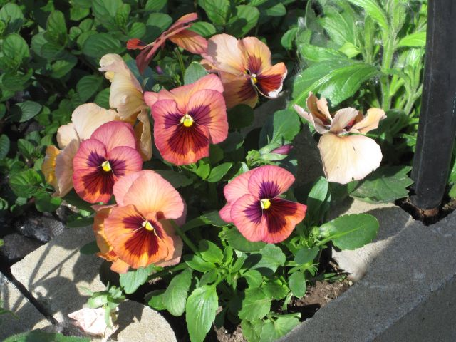 Pansies. I love the colors these are available in today.