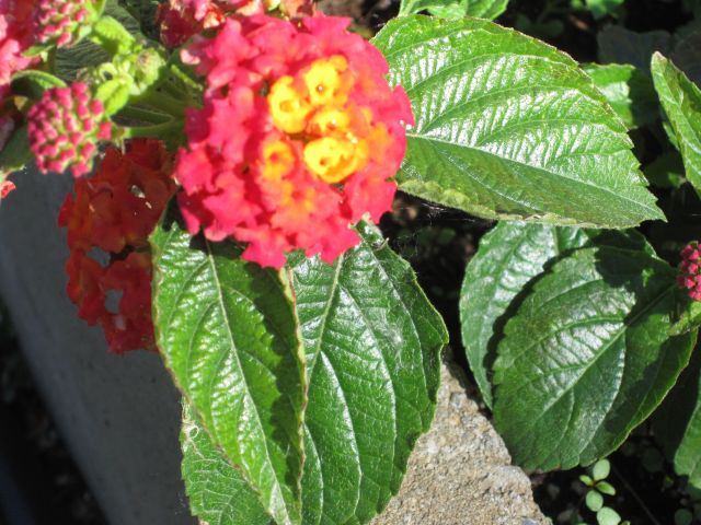 Lantana. This is actually a perennial shrub, but I treat it as an annual.