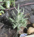 'Boodwin Creek' Lavender