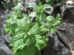 Mojito Mint (Mentha x villosa)