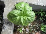 Large Italian Basil. This is the most reliable large-leaf basil for me.