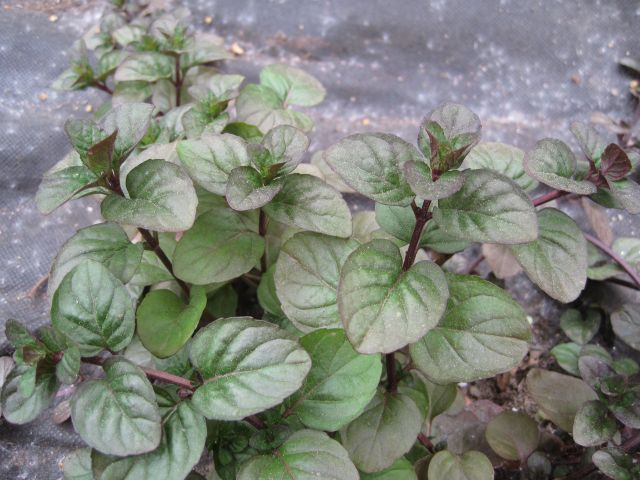 Orange Mint, Mentha citrata. More flowery than orange, to my mind.