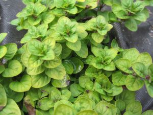 'Westacre Gold' Oregano