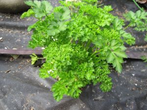 Curled-leaf Parsley